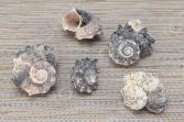 Ракушки декоративные Elan Gallery «Дары Мертвого моря». В ассортименте